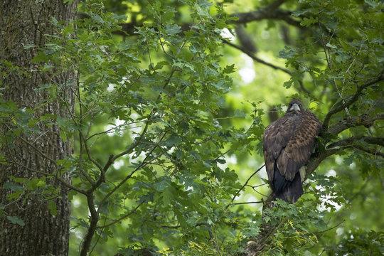 Juvenile White tailed eagle (Haliaeetus albicilla) in an Slovenian / Common oak (Quercus robur) forest, Lonjsko Polje Nature Park, Ramsar Site, Sisack-Moslavina county, Slavonia region, Posavina area, Croatia, June 2009