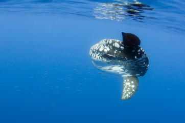 Ocean sunfish (Mola mola) with a shoal of fish swimming past, Pico, Azores, Portugal, June 2009