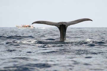 Sperm whale (Physeter macrocephalus) fluke with a whale watching boat in the distance, Pico, Azores, Portugal, June 2009