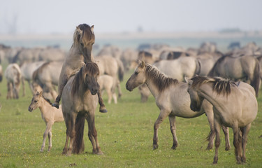 Konik horse pair mating, Oostvaardersplassen, Netherlands, June 2009