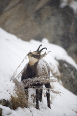 Chamois (Rupicapra rupicapra) grazing on plants in snow, Gran Paradiso National Park, Italy, October 2008