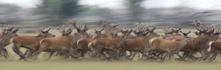 Red deer (Cervus elaphus) stags running, Oostvaardersplassen, Netherlands, June 2009