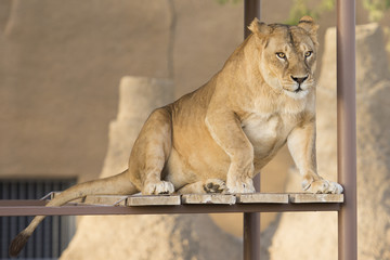 lioness sitting on a wooden and metal shelf in zoo