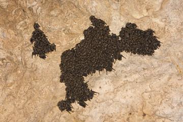 Schreiber's long fingered bat (Miniopterus schreibersi) colony roosting, Grotta Monte Majore, Gennargentu NP, Sardinia, Italy, November 2008