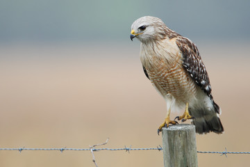 Red-shouldered Hawk (Buteo lineatus) standing on fence post, Florida, USA Wall mural