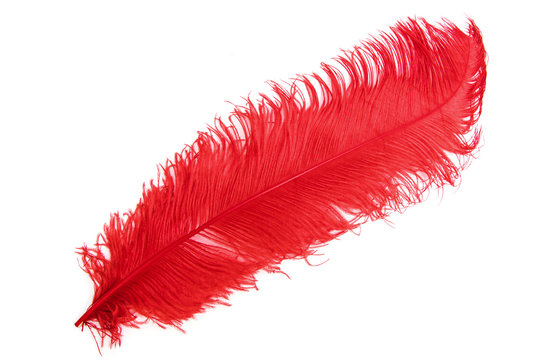 The ostrich's red feather on a white background