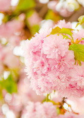 Flowering cherry in the spring, pink petals of cherry flowers