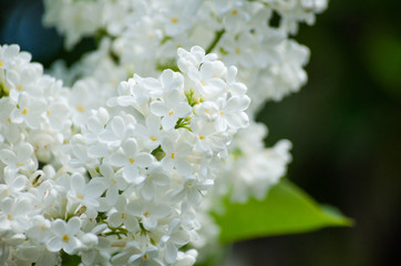 Blooming lilacs in the sun on a background of sky and green leaves.