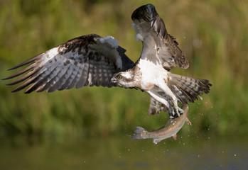 Osprey (Pandion haliaetus) in flight carrying fish, Kangasala, Finland, August 2009