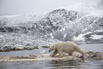 Polar bear (Ursus maritimus) walking on dead whale carcass, Svalbard, Norway, September 2009