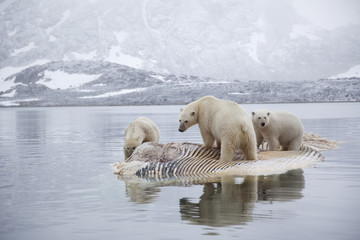 Three Polar bears (Ursus maritimus) feeding on dead whale, Svalbard, Norway, September 2009