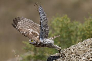 Little owl (Athene noctua) taking off, Bagerova Steppe, Kerch Peninsula, Crimea, Ukraine, July 2009