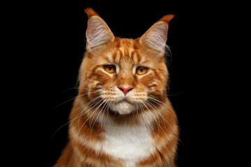 Portrait of Suspiciously Ginger Maine Coon Cat with brush on ears Isolated on Black Background, front view