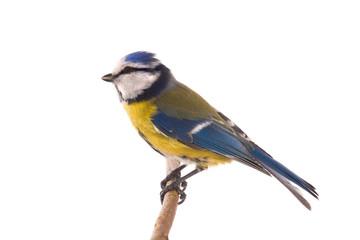Papiers peints Oiseau Eurasian Blue Tit