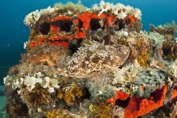 Two Scorpionfish (Scorpaena porcus) lying on artificial reef, Larvotto Marine Reserve, Monaco, Mediterranean Sea, July 2009. BOOK & WWE OUTDOOR EXHIBITION. Wild Wonders kids book.