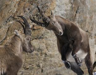 Two Alpine ibex (Capra ibex) fighting, Gran Paradiso National Park, Italy, November 2008