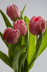 Fresh pink tulip flowers bouquet on white background isolated
