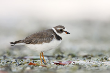 Semipalmated plover (Charadrius semipalmatus) on the beach, Curry Hammock State Park, Florida, USA