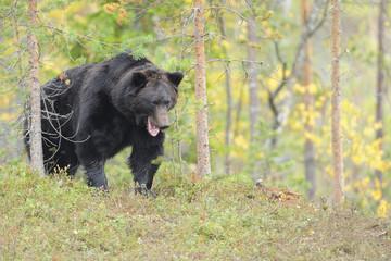 Eurasian brown bear {Ursus arctos} feeding in forest, Kuhmo, Finland. August 2008WWE Mission: Wildlife of northern Finland
