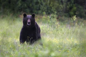 Wild Brown Bear (Ursus arctos) in mountain meadow. Bieszczady, Carpathian Mountains, Poland, May.