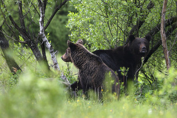 Brown Bear (Ursus arctos) female with cub. Bieszczady, Carpathian Mountains, Poland, May.