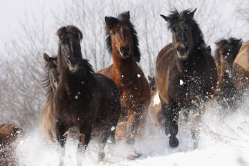 Herd of wild Carpathian Ponies / Hurcul (Equus caballus) running in snow. Bieszczady, Carpathian Mountains, Poland, March.
