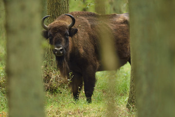 European bison or Wisent (Bison bonasus) looking between trees, Kraansvlak, Kennemerduinen, in the Zuid Kennemerland National Park, Netherlands. Images taken in a huge enclosure, where the bison live a completely wild life.