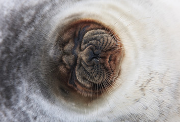 Ringed seal (Pusa hispida) close-up of face, Spitsbergen, Svalbard, Norway, March 2009 WWE OUTDOOR EXHIBITION. WWE BOOK