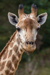 Giraffe Sticking out Tongue