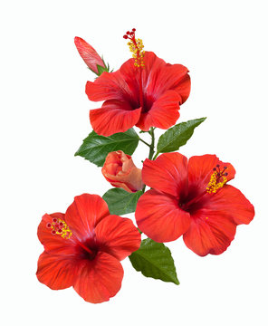 red hibiscus flowers and buds
