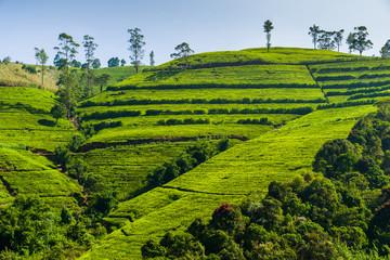 Green tea plantation in the mountains. Sri Lanka