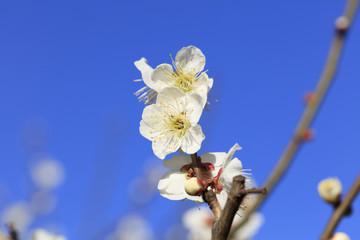 Flowering of plums in Tokyo - Japanese early spring -