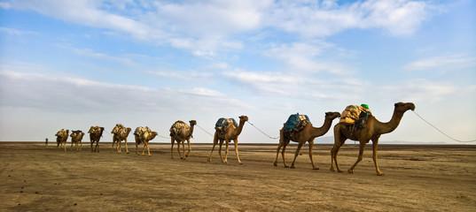 Transportation of salt slabs on camel, Karum lake, Danakil, Afar Ethiopia