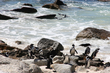 African penguins at Bolders Beach. Cape Town, South Africa