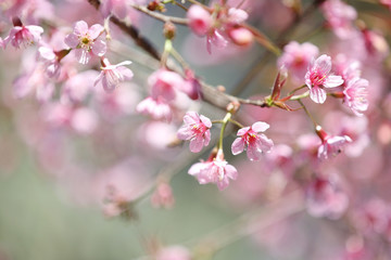 cherry blossoms , sakura flower in close up