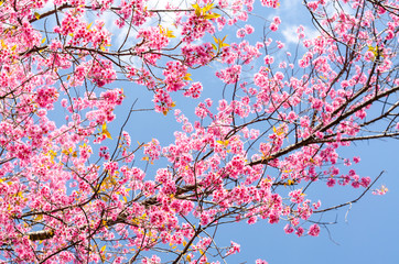 Photo Stands Candy pink Beautiful pink flower of Sakura or Wild Himalayan Cherry tree in outdoor park with blue sky