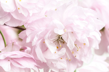 Beautiful spring flowers background.  Japanese cherry blossom wallpaper
