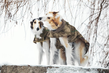 Dogs in military uniform