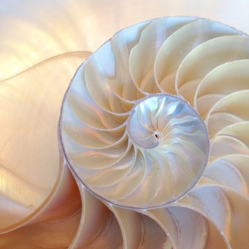 shell nautilus pearl Fibonacci sequence symmetry cross section spiral shell structure golden ratio background nature pattern mollusk (nautilus pompilius) copy space half split stock, photo, photograph