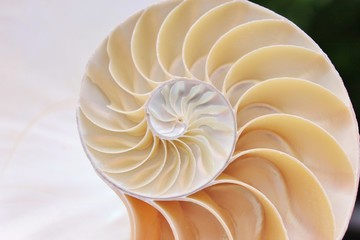 nautilus shell cross section spiral symmetry Fibonacci half golden ratio structure growth close up back lit mother of pearl close up ( pompilius nautilus )