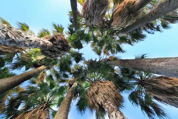 Palm trees against light blue sky
