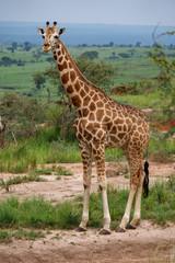 Single giraffe in Murchison Park, Uganda