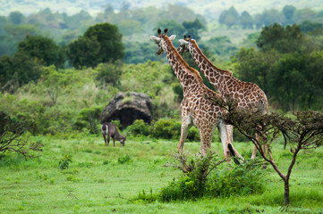 Giraffes at Serengeti national park, Tanzania, Africa