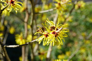 Yellow, orange and brown flowers of witch hazel hamamelis shrub