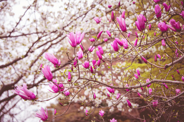 Spring magnolia pink  flower blossom tree background. Easter season.