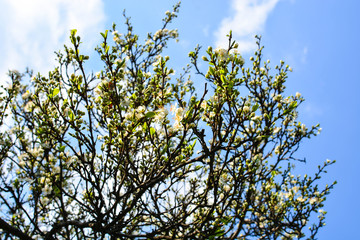 Apple tree, spring blooms in soft background of branches and sky, early spring white flowers, natural background