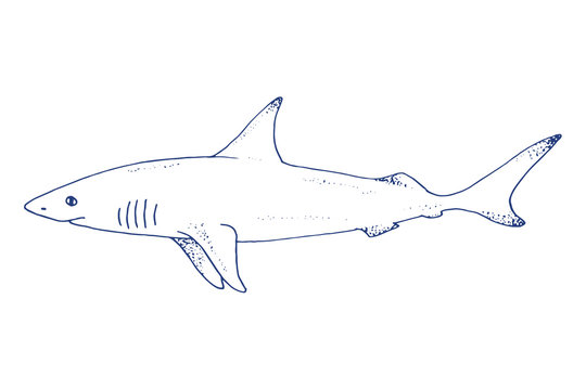 Vector shark hand drawn illustration with wild sea animal. Sea life sketch with predator dangerous fish. Coloring book illustration