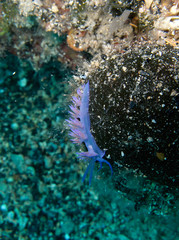 Under water shot of beautiful and very rare colorful sea slug Elysia crispata