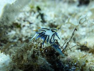 Under water shot of beautiful and very rare colorful sea slug Elysia crispata
