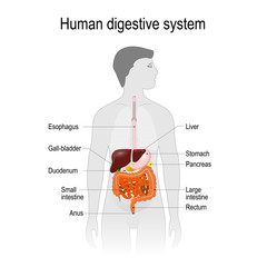 the location of the digestive system in the human body.